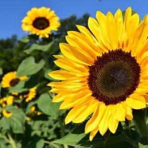 Sonnenblumen für Möglingen